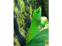 Madagascan giant day gecko