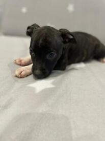 Beautiful Staffordshire Bull Terrier