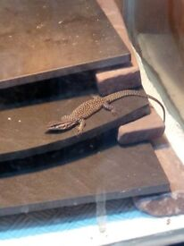 Ackie monitor hatchlings for sale