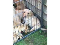 Beautiful Labrador red puppies