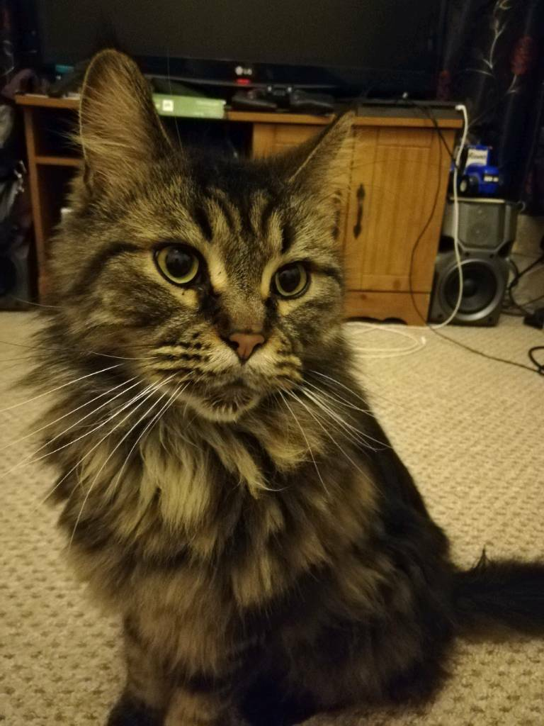 4 year old Maine Coon boy Free to a good home. | in Manor ...