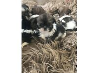 Beautiful shihtzu puppies ready for a forever home