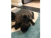 Frenchbulldog puppies for sale