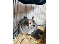 Chinchilla looking for a forever home