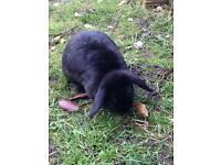 Rabbits x 3 lop 1 male and 2 female