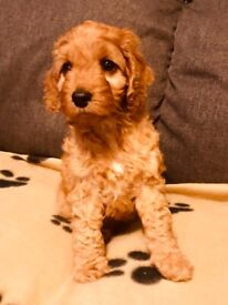 Top quality red cockapoo pup