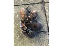Very fluffy cute kittens for sale - 1 hr from liverpool and manchester