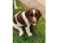 Chunky springer spaniel puppies for sale