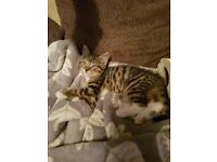 9 week old Bengal Kitten for sale