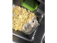 russian hamster for sale