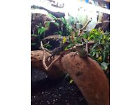 2 Chinese water dragons with full set up