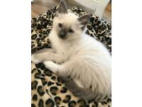 3 month Mitted blue point Ragdoll boy for sale