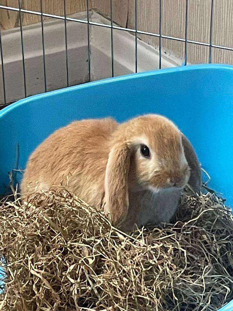 2x Rabbits 12 Weeks Ready For New Home Comes With Everything In Keighley West Yorkshire Gumtree