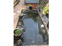 Premium Pond Goldfish x 11 - £50