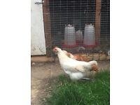 Chicken (as pet)