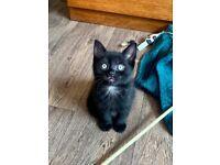 Beautiful Smokey Fluffy Kittens, Boys And Girls
