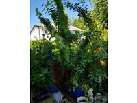 Large cherry tree in pot