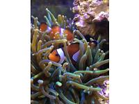 XL Green Bubble Tip Anemone Marine Aquarium Coral
