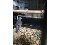 Croaking Dove for sale