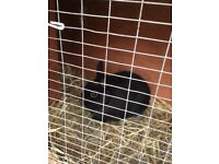 Male 10 month old black netherland rabbit needs a loving home
