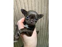 Female chocolate Chug (Chihuahua x Pug) puppy.
