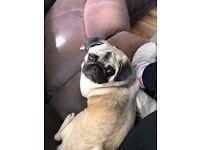 Pug Female 7 months