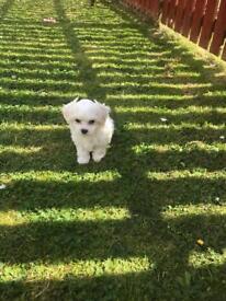 Maltese Puppy Last Boy Left