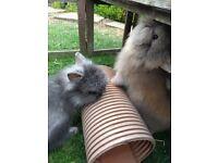 2 LIONHEAD RABBITS READY NOW