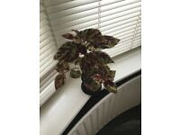 Plant coleus red/green £5.