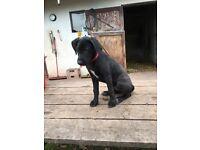 German Shorthaired Pointer x Labrador