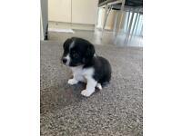 Jackawawa puppy