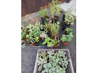 Young perennial plants for sale and some free pond weed (oxygenating)