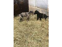 Lurcher puppy's merl lurcher pups