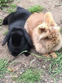 lionhead & black rabbit (not to be seperated!!)