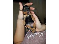 3 Beautiful Yorkie Puppies for sale