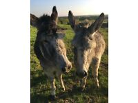 Beautiful pair of Jenny donkeys for sale