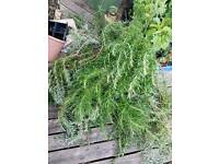 Rosemary Bush clippings