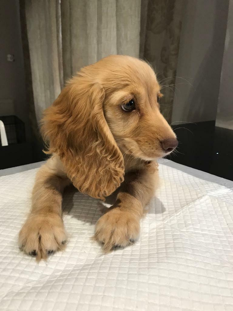 spaniel puppies for sale east sussex