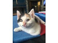 2 10 week old female kittens