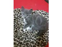 British blue mixed kitten