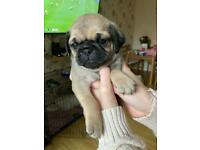 3 Pug puppies left ready to leave 12th December