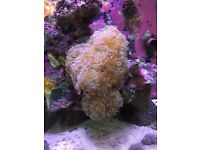 Maine corals for sale