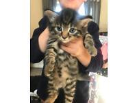 Kittens half Siamese