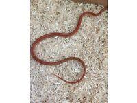 Baby corn snake and vivarium