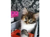 Stunning Maine coon x Rag doll kittens READY NOW
