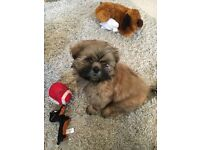 Beautiful male shihtzu puppy for sale