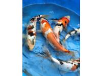 High quality koi crap 8 to 11 inch
