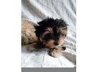 Maltese Cross Yorkshire Terrier Pup