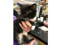 Lovely kittens available 2 very fluffy black and white 1 male 1 female 9 weeks