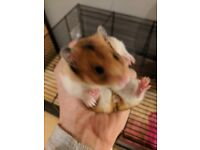Syrian hamster for sale with cage.